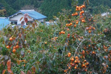 There are persimmon trees all around the villages.