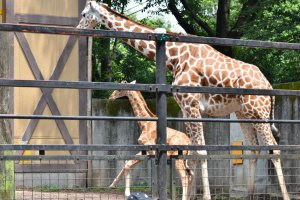 Giraffes are one of the zoo's star attractions