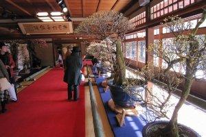 慶雲館の座敷に並べられた梅盆