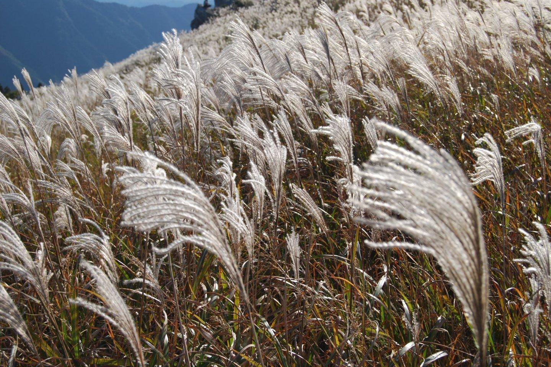 Silvery pampas grass on Oishi Kogen is a beautiful sight.