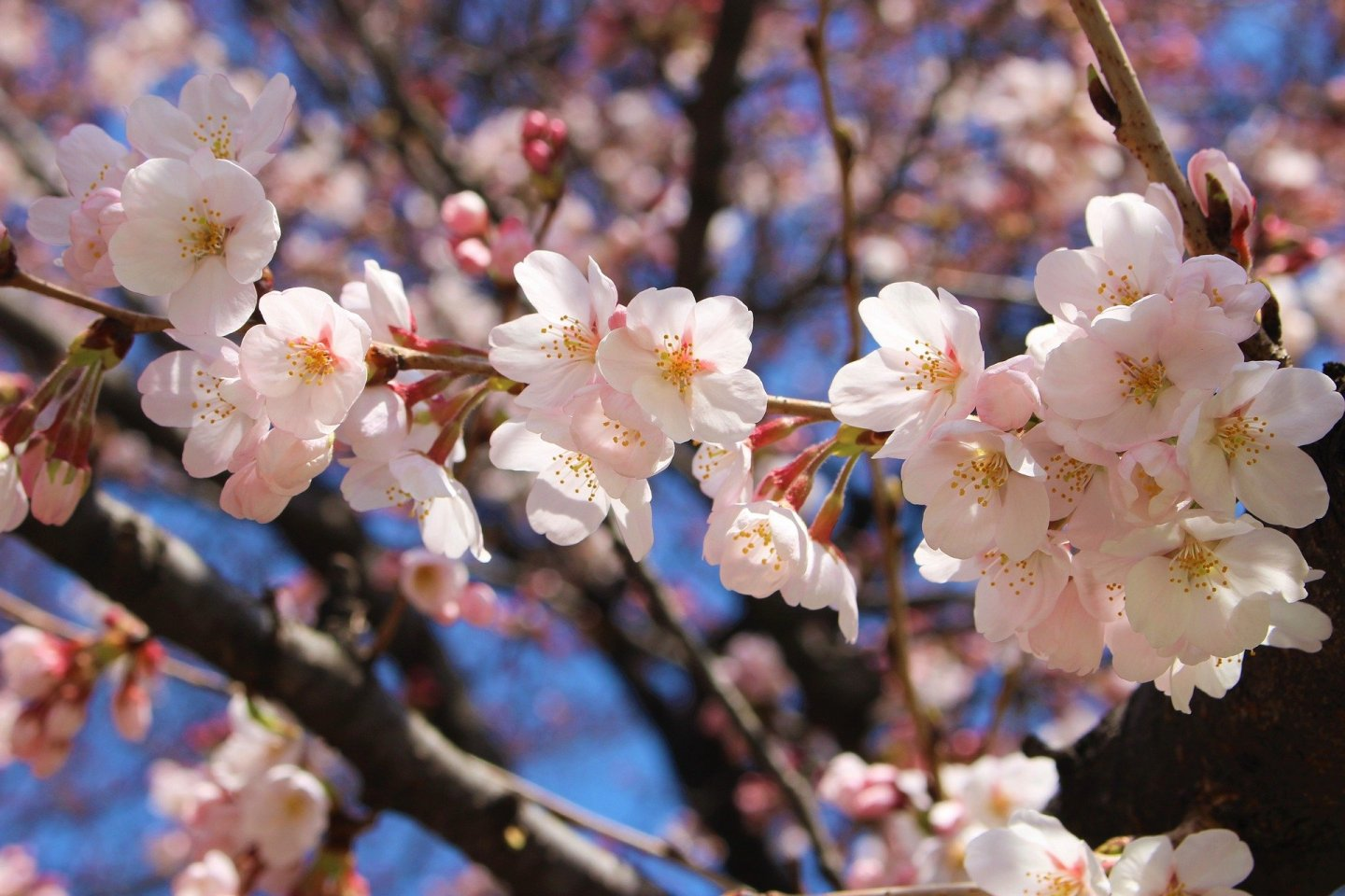 Cherry blossoms have inspired artists throughout history