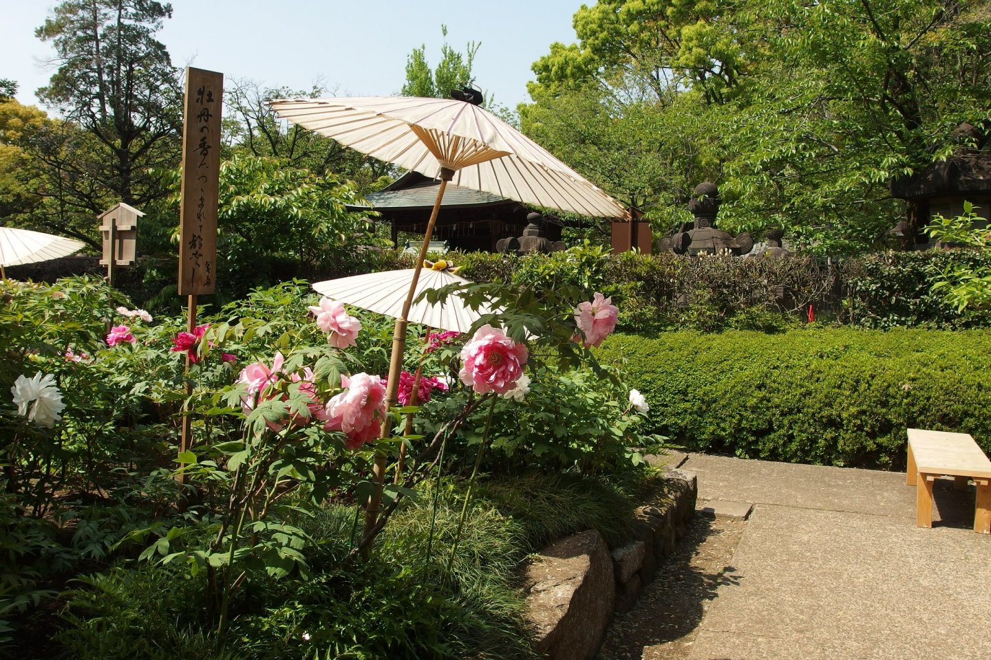 Ueno Toshogu Shrine\'s peony garden serves as a celebration of the friendship between China and Japan