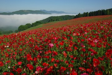 Sky of Poppies