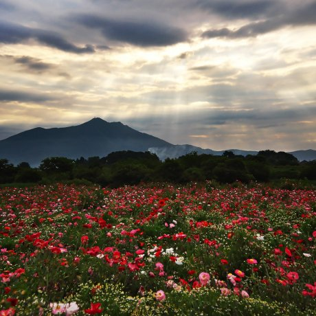 Poppy Season at Kokaigawa Fureai Park