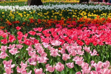 Yokohama Park Tulips near stadium