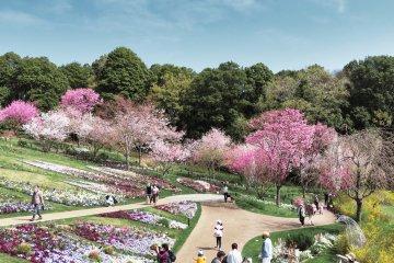 Cherry Tree blooming in Satoyama Garden