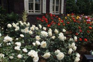Roses at the Kyu Furukawa Garden