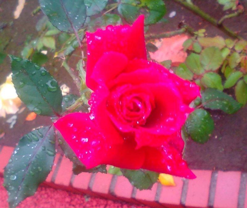 Red rose. Ina Machi Rose Festival