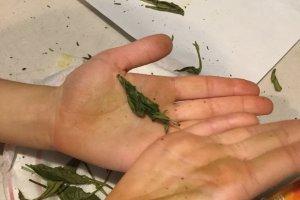 Rolled up tea leaves
