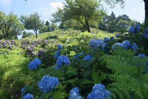The Tokamachi Ajisai Park
