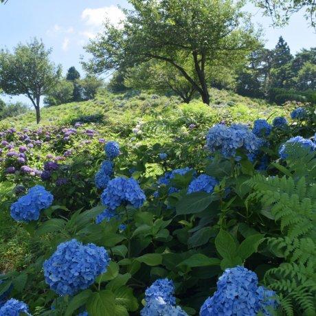 3 of Niigata's Top Hydrangea Spots