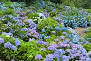 Kannonyama Park is filled with thousands of hydrangeas
