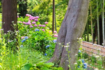Yokohama Children's Botanical Park - Hydrangea near Bamboo forest