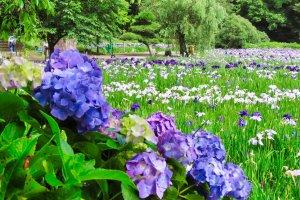 Hydrangea and Iris