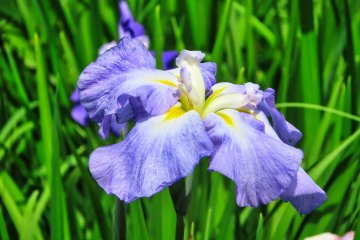 Light Lavender Edo Series