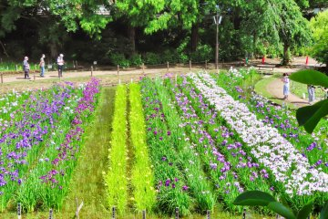 Second Iris Garden
