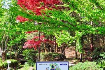 Japanese Maple in Spring