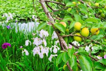 Odawara Flower Garden Iris and Plums