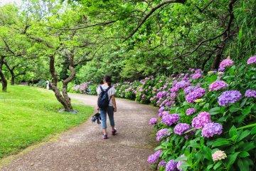 Odawara Flower Garden Hydrangea