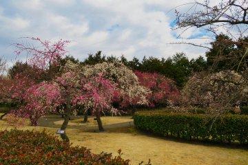 Odawara Flower Garden Plum Festival, 2021