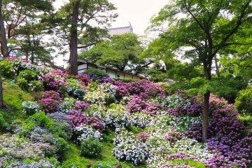 Castle Park Hydrangea