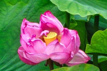 Castle Park Lotus