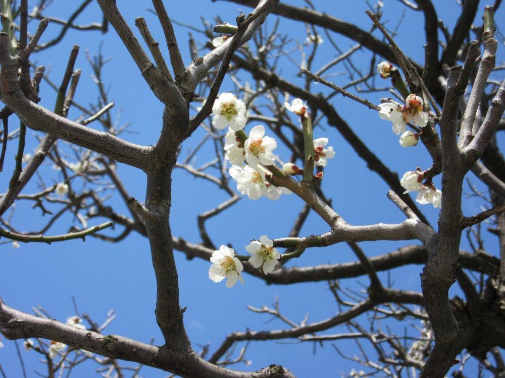 Plum blossoms start spring