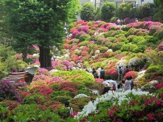 Azalea festival at Nezu Shrine, Tokyo