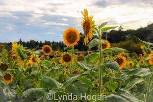 Sunflower field in Sayama City