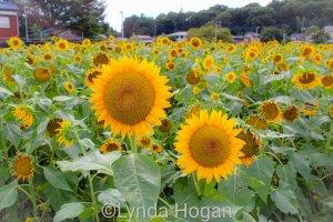 Sunflowers Sayama City, Saitama Prefecture