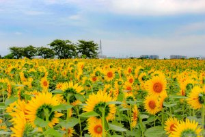 Sunflowers at the Isa Marsh East Bank garden