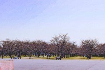 Cherry blossoms at Kasenjiki Central Park