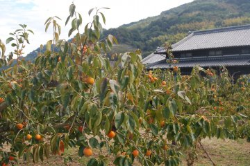 The persimmon orchard of the Hayashi family