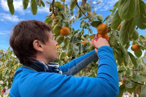 Picking persimmon is an autumn activity.