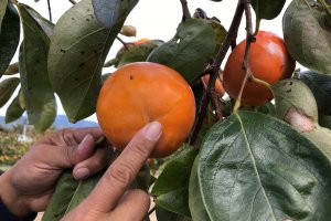 This persimmon is ripe and ready to be picked.