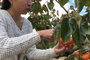 Picking persimmon with friends is fun!
