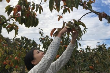 The kaki trees are not very tall and most fruits can be reached easily.