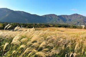 Shimmering pampas grass at the Sengokuhara Pampas Grass Field