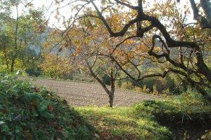 柿の木と稲刈りが終わった水田