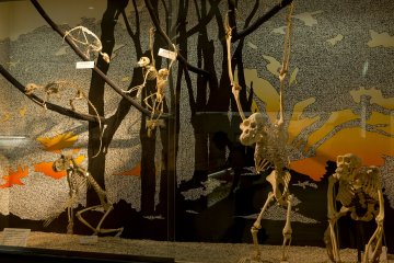 The skeletons of various apes were very interesting at the Osaka Natural History Museum near Nagai Park