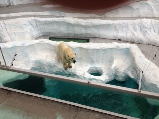 "Polar bears in their ""natural"" habitat"
