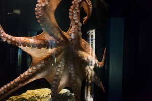 The skin of the Atlantic octopus looks like it would be interesting to touch