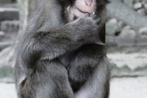 A Japanese macaque at Mt Takasaki