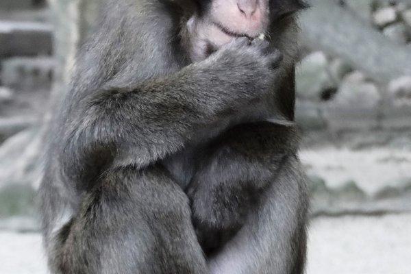 1 con khỉ Macaca Nhật Bản tại núi Takasaki