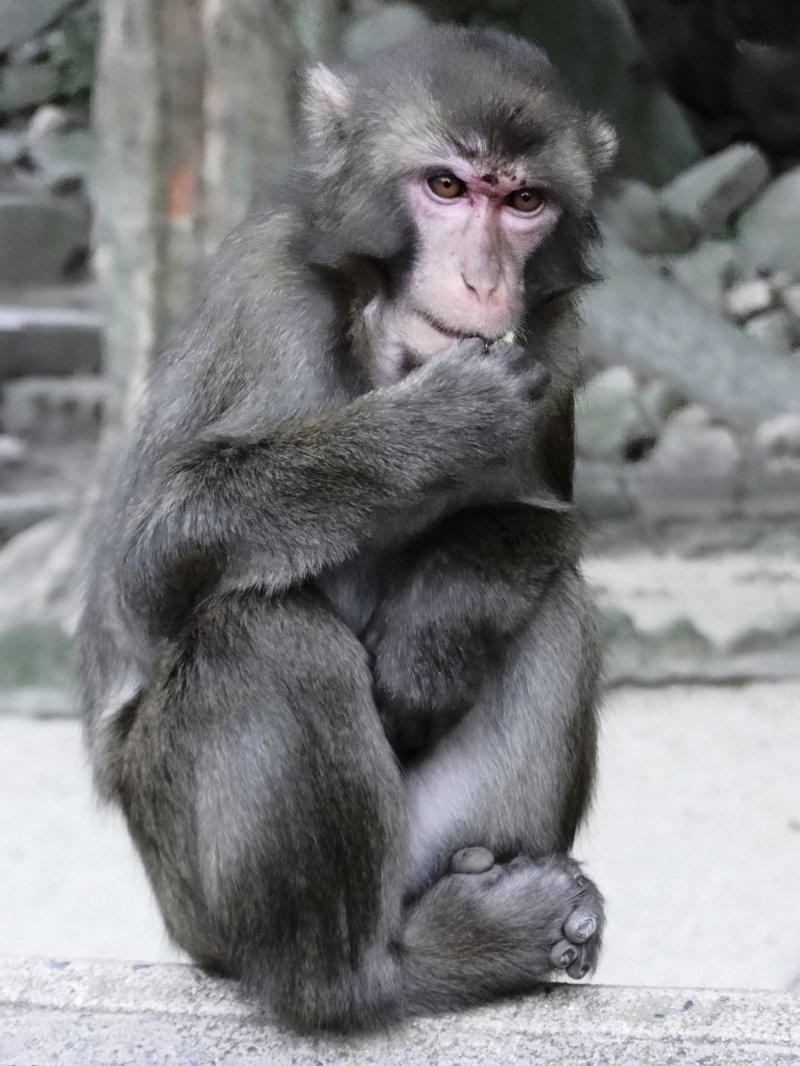 A Japanese macaque at Mt Takasaki