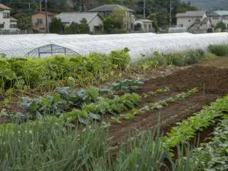 Suatu pengalaman yang menyenangkan bisa melihat bagaimana sayuran-sayuran yang biasanya Anda beli sehari-hari ditanam di Kannami, jantung dari Prefektur Shizuoka