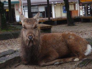 관광객들을 신경쓰지않는 토종 사슴