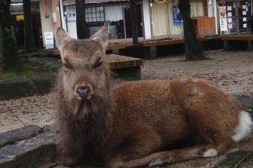 Native deer laze around the island ignoring tourists