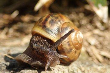 Mountain climbing snail