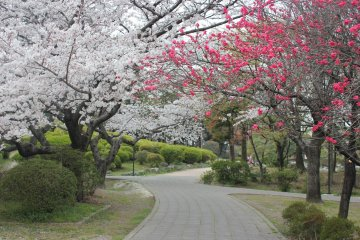Sakura in bloom at Suijyou Park